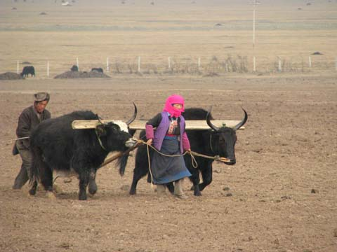 Yaks ploughing a field in Tibetan country